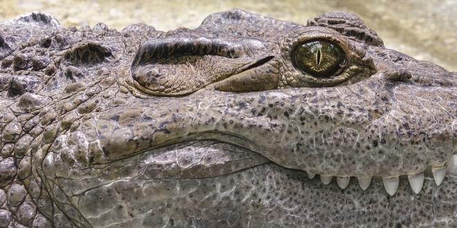 Alligator Tattoo