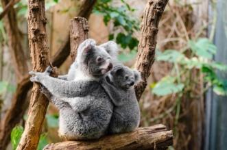 Koala Tattoo Design