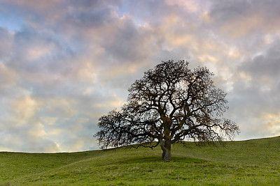 Oak Tree Tattoo Longevity Glory Strength Bravery And Wisdom
