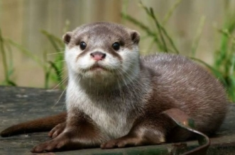 Otter Wild Animals