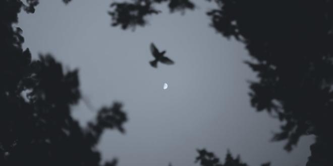 Pacific Northwest Raven