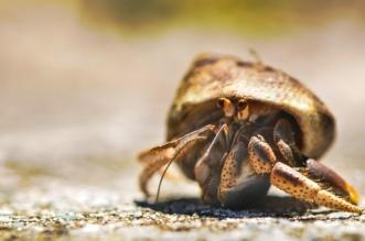 Hermit Crab Tattoos