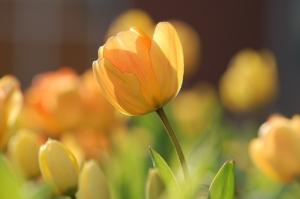 Tulip Flower Tattoo