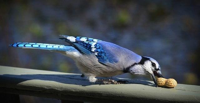 Blue Jay Tattoo